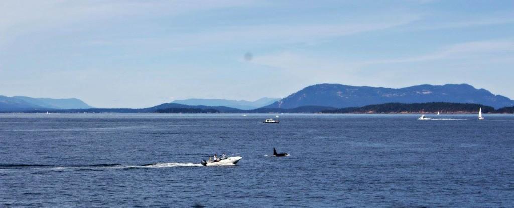 seattle-whale-watch