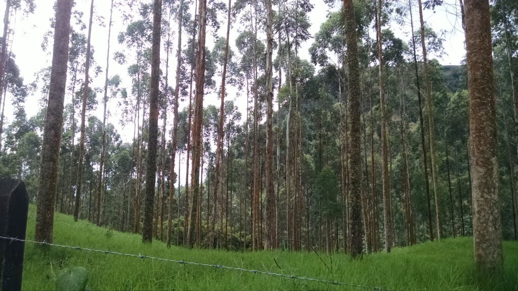 Eucalyptus Trees in Jardín Colombia