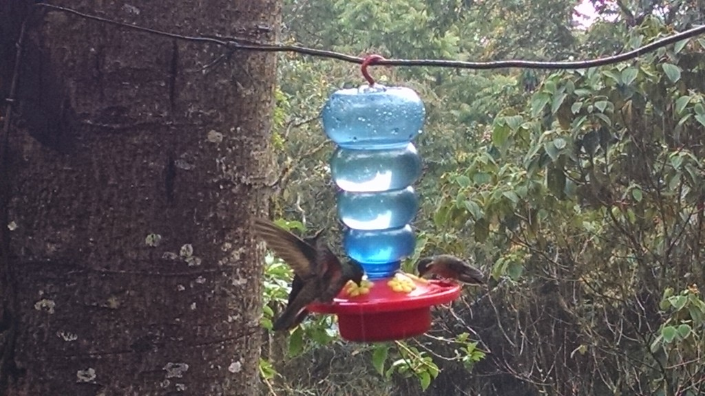 Hummingbirds in Salento, Colombia