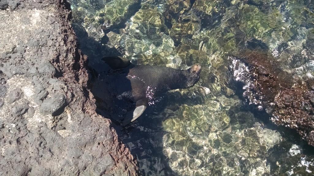 Snorkeling and Sea Lion at Las Tintoreras
