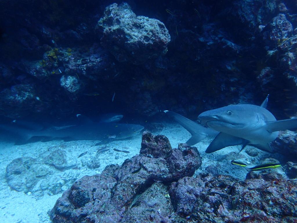 White Tip Reef Sharks in Galapagos