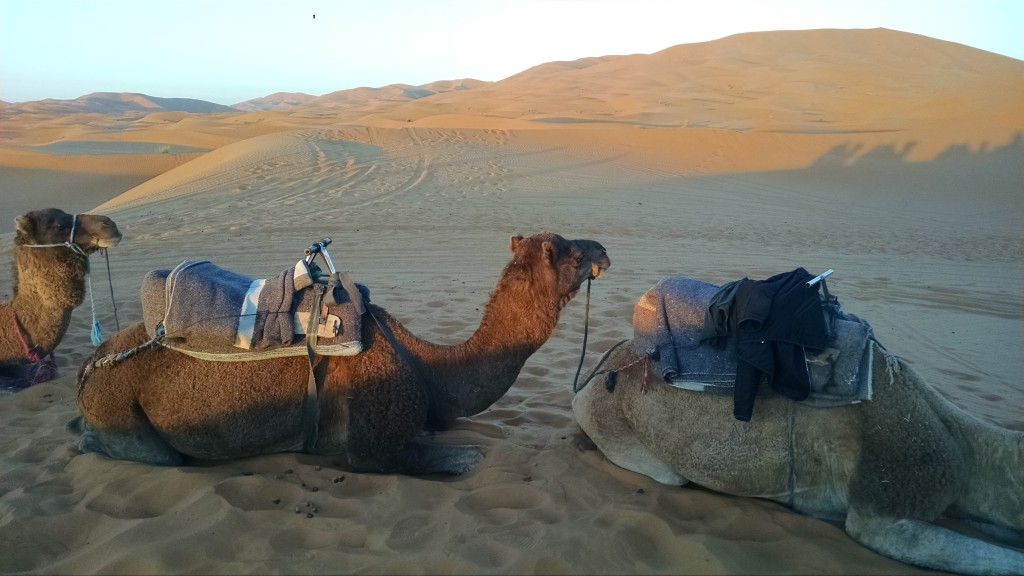 Camel in Merzouga